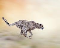 Spring för gepard (Acinonyxjubatus) Arkivbild