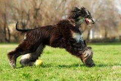 Spring för hund för afghansk hund med bollen Arkivfoton