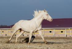 Spring för vit häst och för svart hund i en paddock Arkivfoto