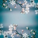 Spring frame background with white cherry blossom on blue background, place for text Stock Photos