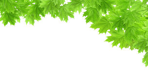 Spring frame with leaves of a maple Stock Images