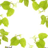 A spring frame with linden tree branches isolated on white background. An overhead photo, flat lay, top view. Spring mood holidays. Border. Lime twigs photo Stock Image