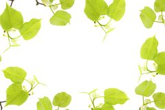 A spring frame with linden tree branches isolated on white background. An overhead photo, flat lay, top view. Spring mood holidays. Border. Lime twigs photo Royalty Free Stock Photos