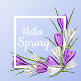 Spring frame with purple and white crocus flower. White spring frame with purple and white crocus flower, green leaf and hello spring message on blue background Royalty Free Stock Image