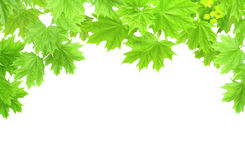Free Spring Frame With Leaves Of A Maple Royalty Free Stock Photos - 24134118