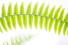 Spring fresh abstract fern background Royalty Free Stock Images