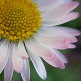 Spring fresh flower. Beautiful fresh spring daisy flower Royalty Free Stock Photo