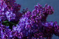 A bouquet of lilac on a dark background Royalty Free Stock Photography
