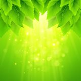 Spring fresh green leaves. Vector illustration. EPS10 Stock Photos