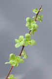 Spring fresh leaves Royalty Free Stock Image