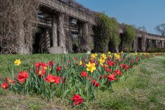 Early Spring fresh tulips on green grass stock photos