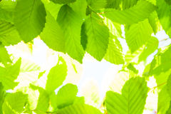 Spring fresh young leaves Royalty Free Stock Image