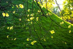 Spring Leaves in Sunset Royalty Free Stock Photo