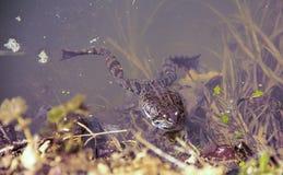 Spring frog Stock Photos
