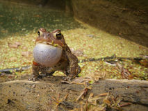Spring frog croaking on log. In a pond Stock Image