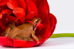 Spring Frog hiding in the wonderful red blossom of a tulip Royalty Free Stock Image