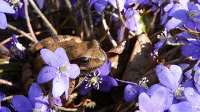 Spring frog jump and violet flowers Stock Photography