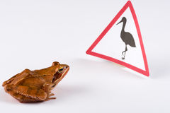 Spring Frog (Rana dalmatina) dicovering a sign Royalty Free Stock Photos