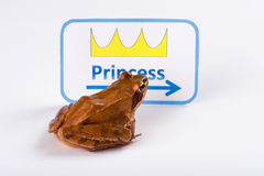 Spring Frog (Rana dalmatina) on it´s way to kiss the princess Royalty Free Stock Images