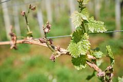 Spring frost damage in vineyard. Stock Photos