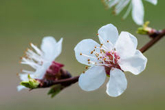Spring Fruit Flower Royalty Free Stock Image