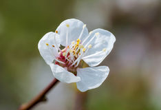 Spring Fruit Flower Royalty Free Stock Photography