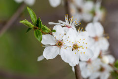 Spring Fruit Flower Stock Photography