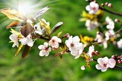 Spring fruit tree flowers Royalty Free Stock Photos