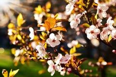 Spring fruit tree flowers in sunset light Stock Image