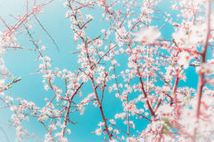 Spring fruits trees branches with buds and flowers on blue sky background in garden or park royalty free stock photo