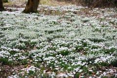Spring Galanthus Royalty Free Stock Image