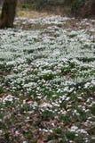 Spring Galanthus Royalty Free Stock Photos