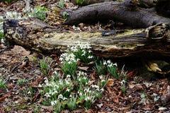 Spring Galanthus Stock Image