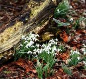Spring Galanthus Stock Photo