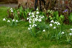 Spring Galanthus. Group of spring woodland Galanthus Stock Photography