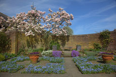 Spring garden. Walled garden corner with forget-me-nots and magnolia tree Royalty Free Stock Images