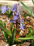 Spring in the garden. Bees on flower Royalty Free Stock Photography