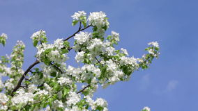 Spring garden with apple orchard in bloom. Close up view at white flowers of garden apple tree stock footage