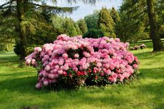 Beautiful blooming azalea - rhododendron Rhododendron. Spring in garden.Beautiful blooming azalea - rhododendron Rhododendron stock photography