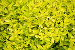 Spring garden beauty. Bush of bright yellow leaves growing in garden. Ornamental garden plant with yellow colored leaves. Decorative shrub in park garden on royalty free stock photos