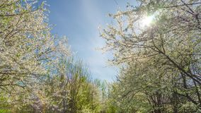 Spring garden, cherry blossoms and the sun stock video