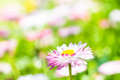 Spring garden closeup daisy flower Stock Photography