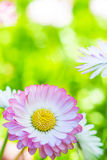 Spring garden closeup daisy flower Royalty Free Stock Photos