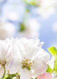 Spring garden closeup flowers blooming cherry trees Stock Photo