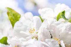 Spring garden closeup flowers blooming cherry trees Stock Image
