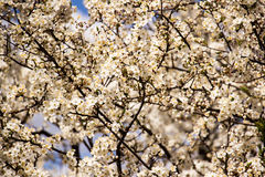 Spring garden closeup flowers blooming cherry trees. Closeup of flowers blooming cherry trees Stock Photo