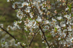 Spring garden closeup flowers blooming cherry trees Royalty Free Stock Photos