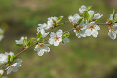 Spring garden closeup flowers blooming cherry trees Royalty Free Stock Image