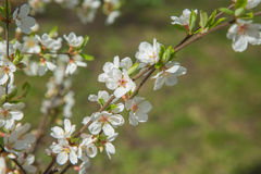 Spring garden closeup flowers blooming cherry trees Stock Photography