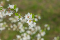 Spring garden closeup flowers blooming cherry trees Stock Images